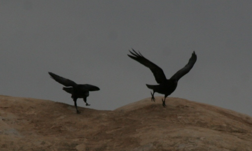 Ravens getting blown around in the wind at Canyonlands