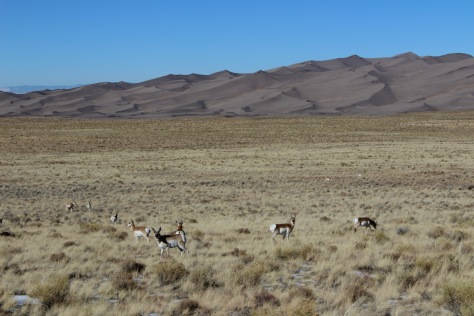 Pronghorns at the dunes