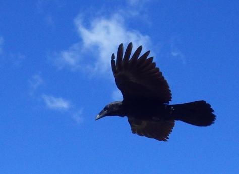 Raven flyover