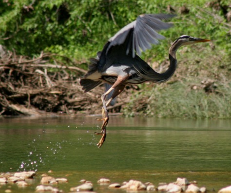 A great blue heron taking off