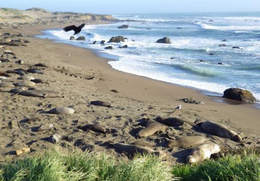 Raven and elephant seals