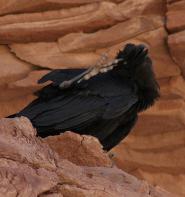 Raven about the park